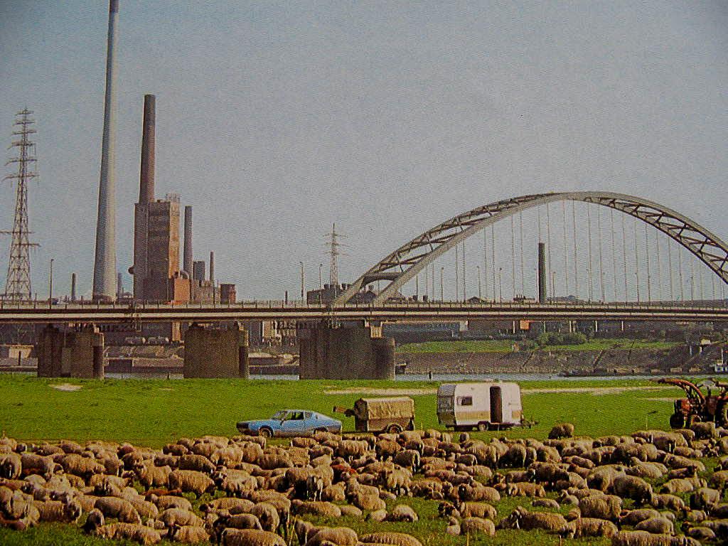 1980-rheinhsnbrueckeschafe